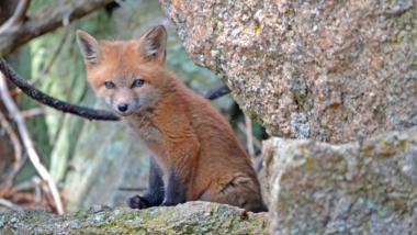 Ein junger Fuchs auf einem Stein.
