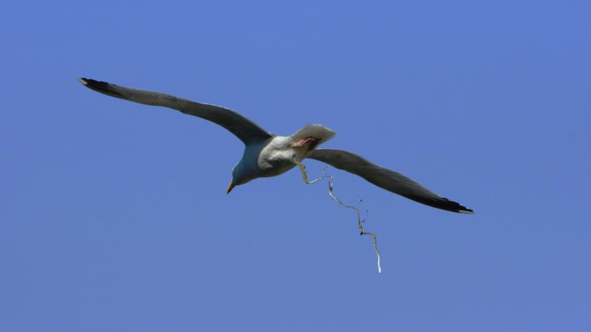 Silbermöwe defäkiert im Flug