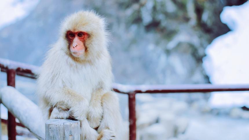 Ein weißes Äffchen mit rotem Gesicht, das auf einem Zaun vor verschneitem Hintergrund sitzt