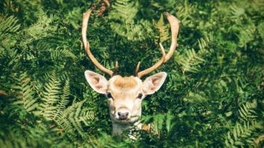 Ein Hirsch schaut aus einem Hintergrund grüner Blätter und Buschwerk