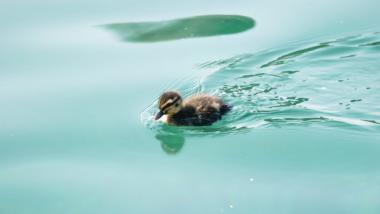 Ein Entenküken auf türkisem Gewässer.