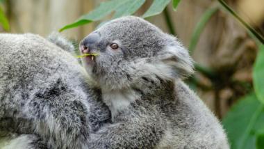 Ein Koala-Baby