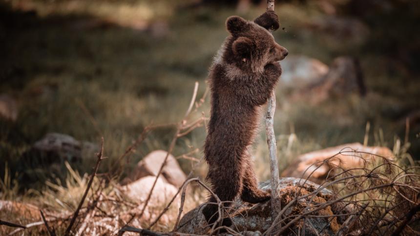Bären-Baby steht an einem Stock