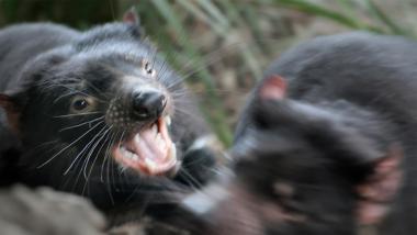 Tasmanischer Teufel fletscht die Zähne im Kampf mit einem anderen Beutelteufel
