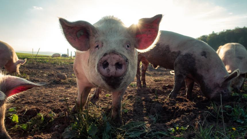Schweineherde
