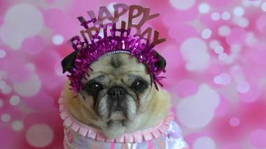 Mops mit pinkem Geburtstagshaarreif