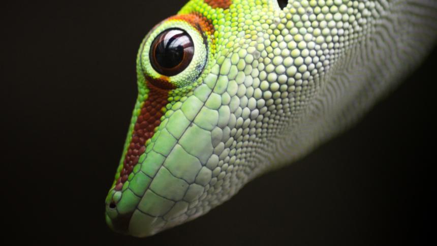 Ein sehr süßer, bunter Gecko mit weit geöffneten Augen