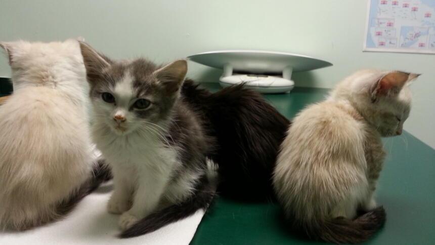 Drei Kätzchen auf einem Tisch beim Tierarzt.