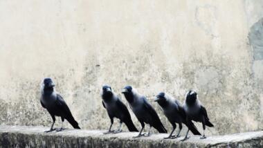 Fünf Raben stehen auf einer Mauer und gucken in Kamera