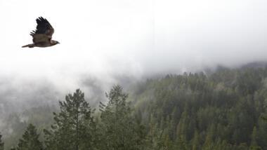 Vogel fliegt über Wald, im Hintergrund Nebel.