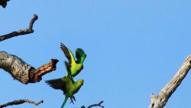 2 grüne Papageien mit rotem Schnabel in der Luft