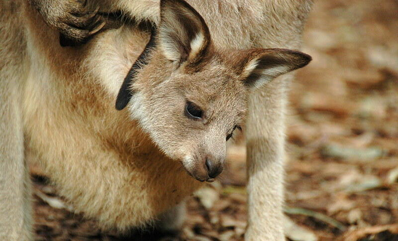 Ein Kangurubaby in Nahaufnahme. Es ist noch im Beutel seiner Mutter, hat aber schon Fell und steckt den Kopf heraus.