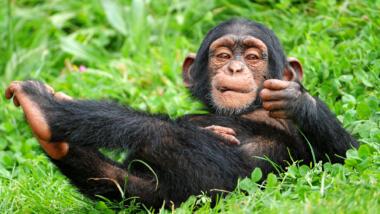 Ein Baby Schimpanse, der auf dem Rücken im Gras liegt.