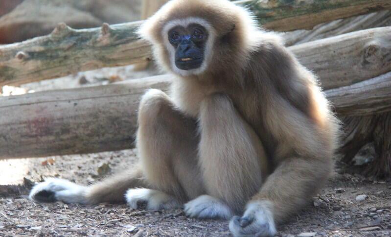 Ein Affe, der auf dem Boden sitzt und die Arme hängen lässt.