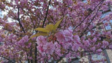 Kirschblüten in Brüssel