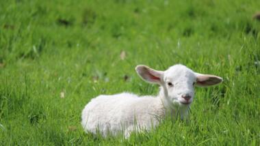 Ein Lamm liegt im Gras.