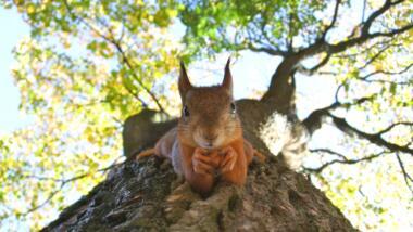 Eichhörnchen, das kopfüber auf einem Baumstamm sitzt.