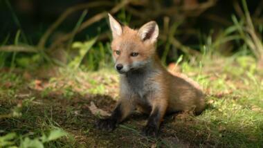 Fuchs auf dem Waldboden