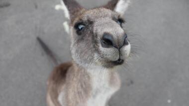Känguru hält seine Nase in die Kamera