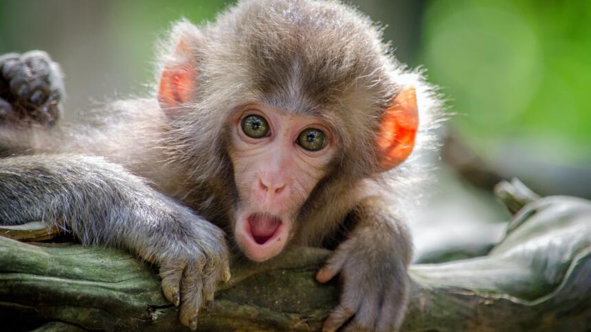 Affe mit weit aufgerissenen Augen