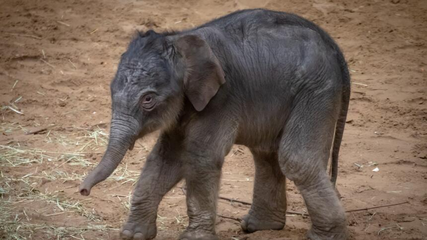 Ein Baby-Elefant im Schlamm