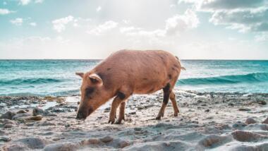 Schweinchen am Strand