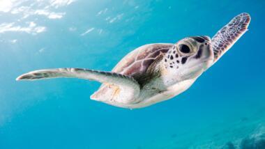 Meeresschildkröte unter Wasser