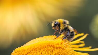 Eine Biene sitzt auf einer gelben Blume.