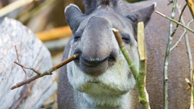 Süßes Tapir