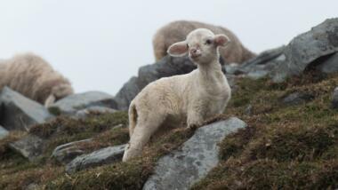 Ein Lamm am Berghang