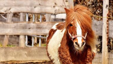 Braun-weißes Pony vor einem Zaun