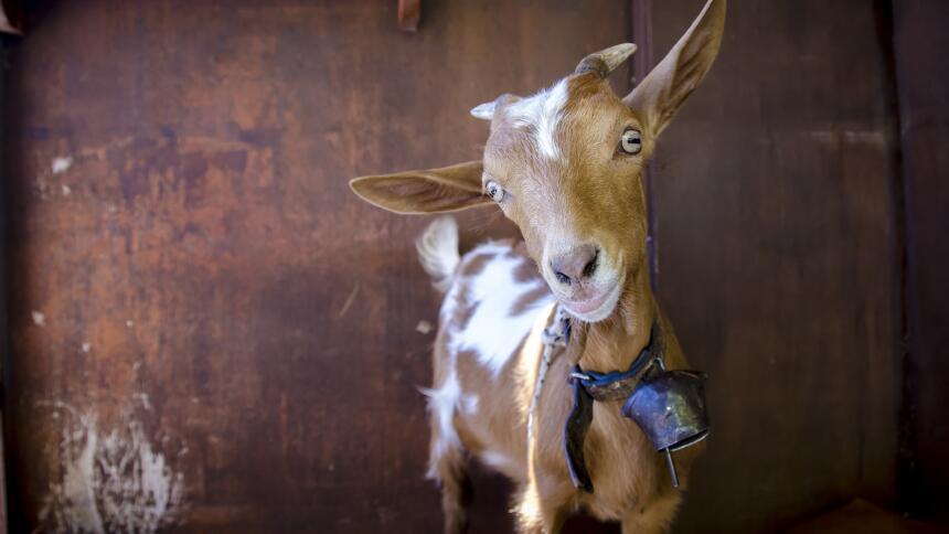 Eine braune Ziege mit weißen Flecken und einer blauen Glocke um den Hals schaut in die Kamera.
