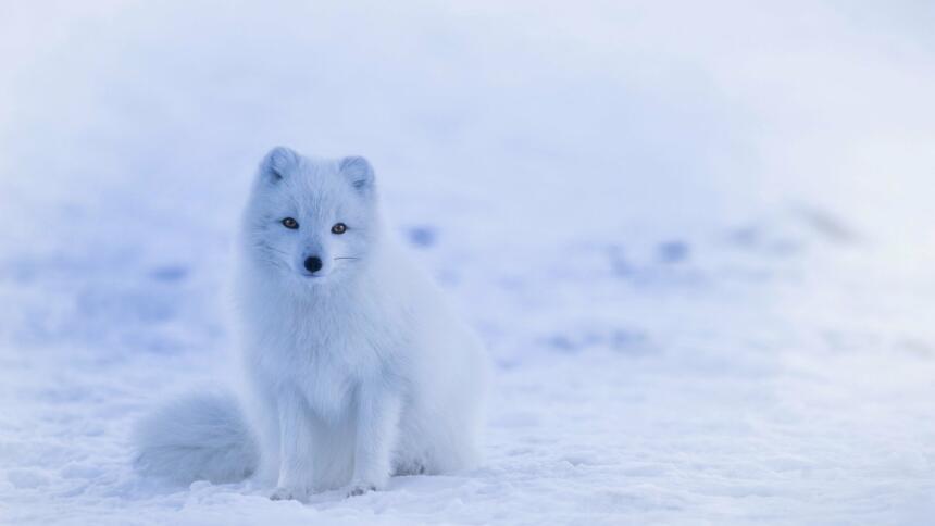 Ein weißer Polarfuchs auf einer weißen Schneedecke.