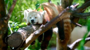 Ein roter Panda schläft auf einem Baum.