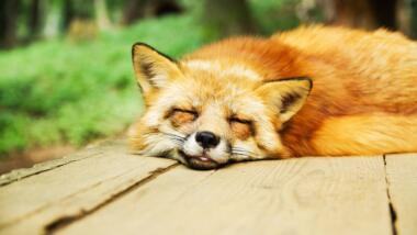 Fuchs schläft.