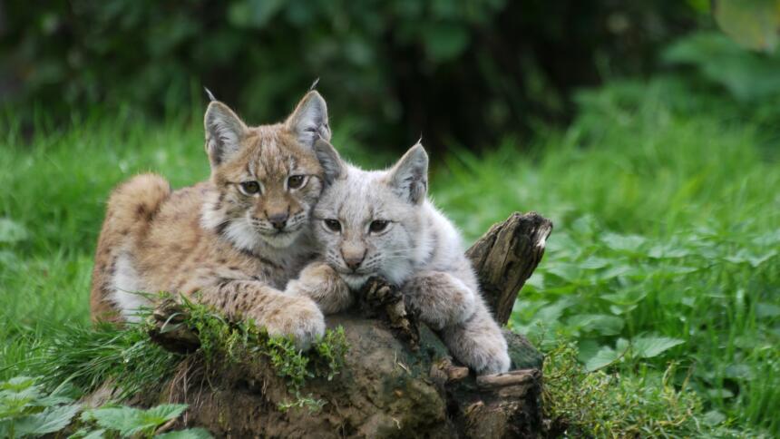 Zwei Luchse nebeneinander im Wald.