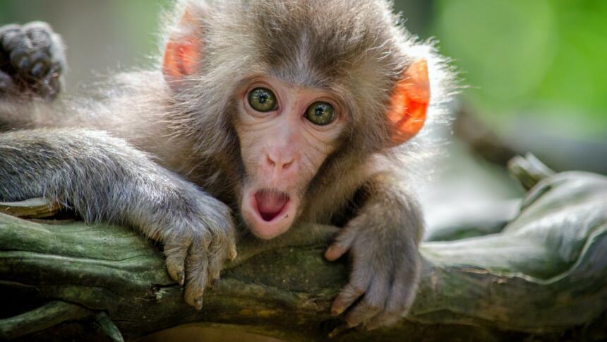 ein Affe mit erschrockenem Gesicht