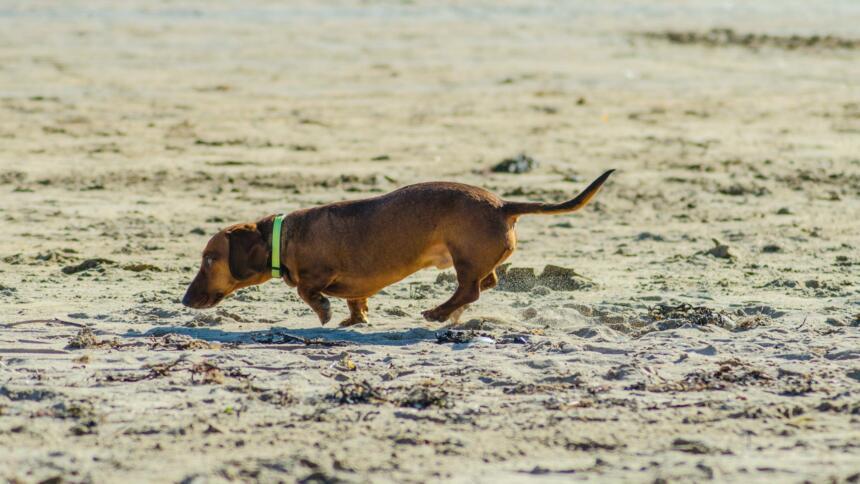 Spürhund am Strand