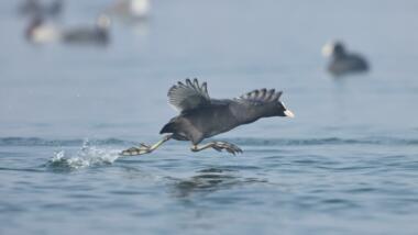 Ente rennt übers Wasser
