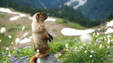murmeltier in den bergen