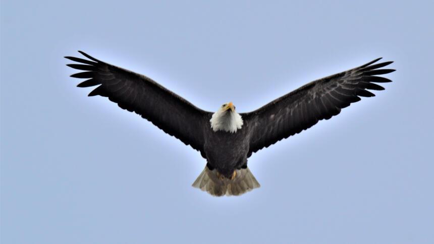 Ein Adler fliegt durch die Lüfte.