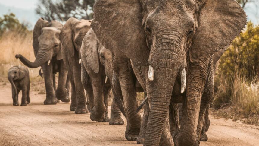 Eine Gruppe Elefanten läuft hintereinander
