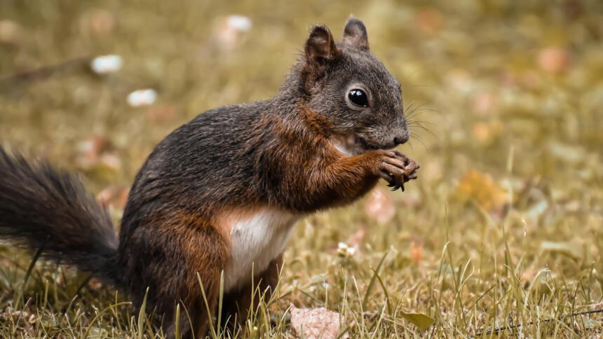 Ein Eichhörnchen nagt an einer Nuss.